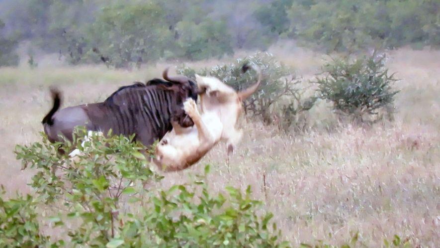 Deux lions face à un gnou : qui vaincra ?