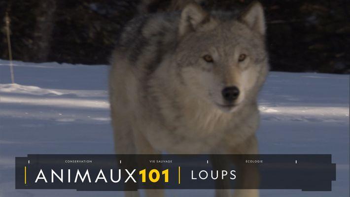 COMPRENDRE : Les loups