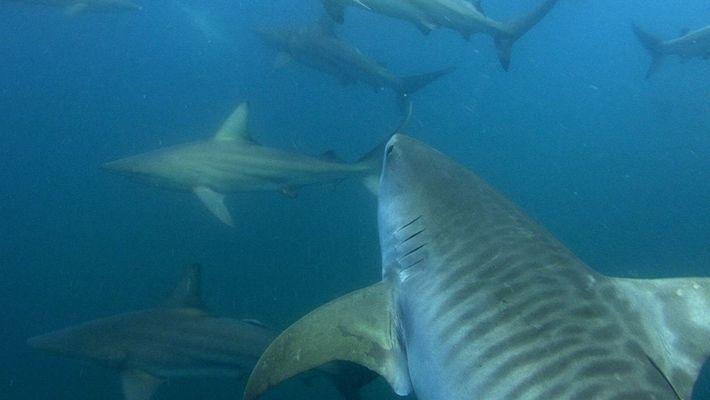 Quelles sont les raisons des attaques de requins dans les Bahamas ?