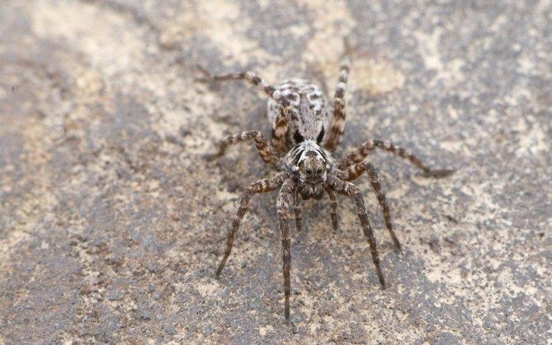 Les araignées-loups adaptent leur menu au climat   National Geographic
