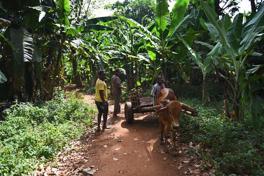 À Dongué, la famille d'Adam Juma a bénéficié du programme de redistribution des terres mené à la révolution. Sur ce lopin de terre, mangues, fruits de l'arbre à pain, pommes jacque, clous de girofle, poivre et bananes sont récoltés à la main et l'aide des animaux est précieuse.