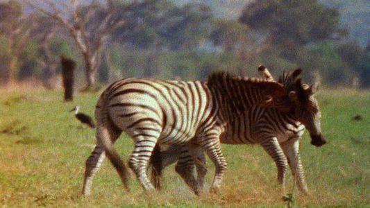 Combat animalier : zèbre contre zèbre
