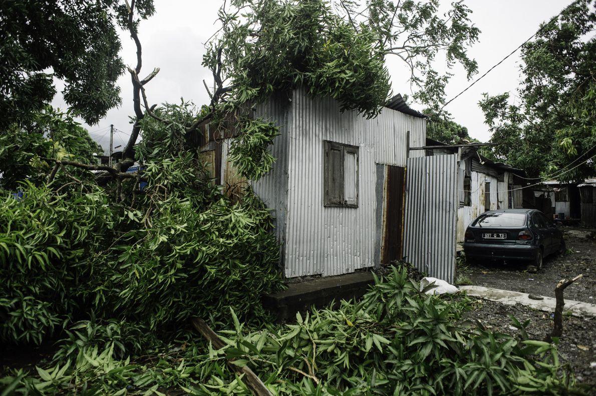 Les maisons de tôle n'ont pas résisté aux chutes de grands arbres. Cocoiers, manguiers et palmiers, ...