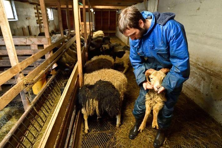 Jóhan Jógvansson, à Saksun, élève des moutons. L'activité, destinée au marché intérieur, est pratiquée sur toutes ...