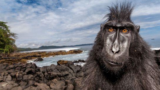 Un macaque en goguette au bord de la mer, dans une réserve des Célèbes (Sulawesi). L'étude ...
