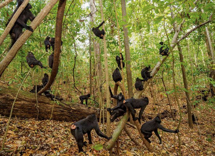 Un tour dans la forêt de la réserve de Tangkoko fait partie du quotidien de ces ...
