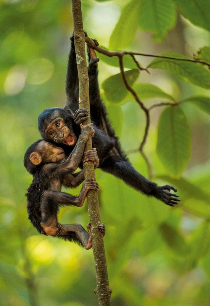 Les très jeunes macaques ont une grande liberté pour jouer et explorer la forêt, mais s'éloignent ...