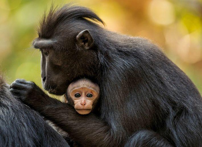 Une femelle adulte a un bébé tous les vingt mois environ. Elle veille à la plus ...