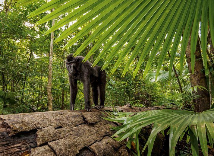 Un mâle adulte tel que celui-ci pèse plus de 9 kg. La déforestation, la construction de routes ...