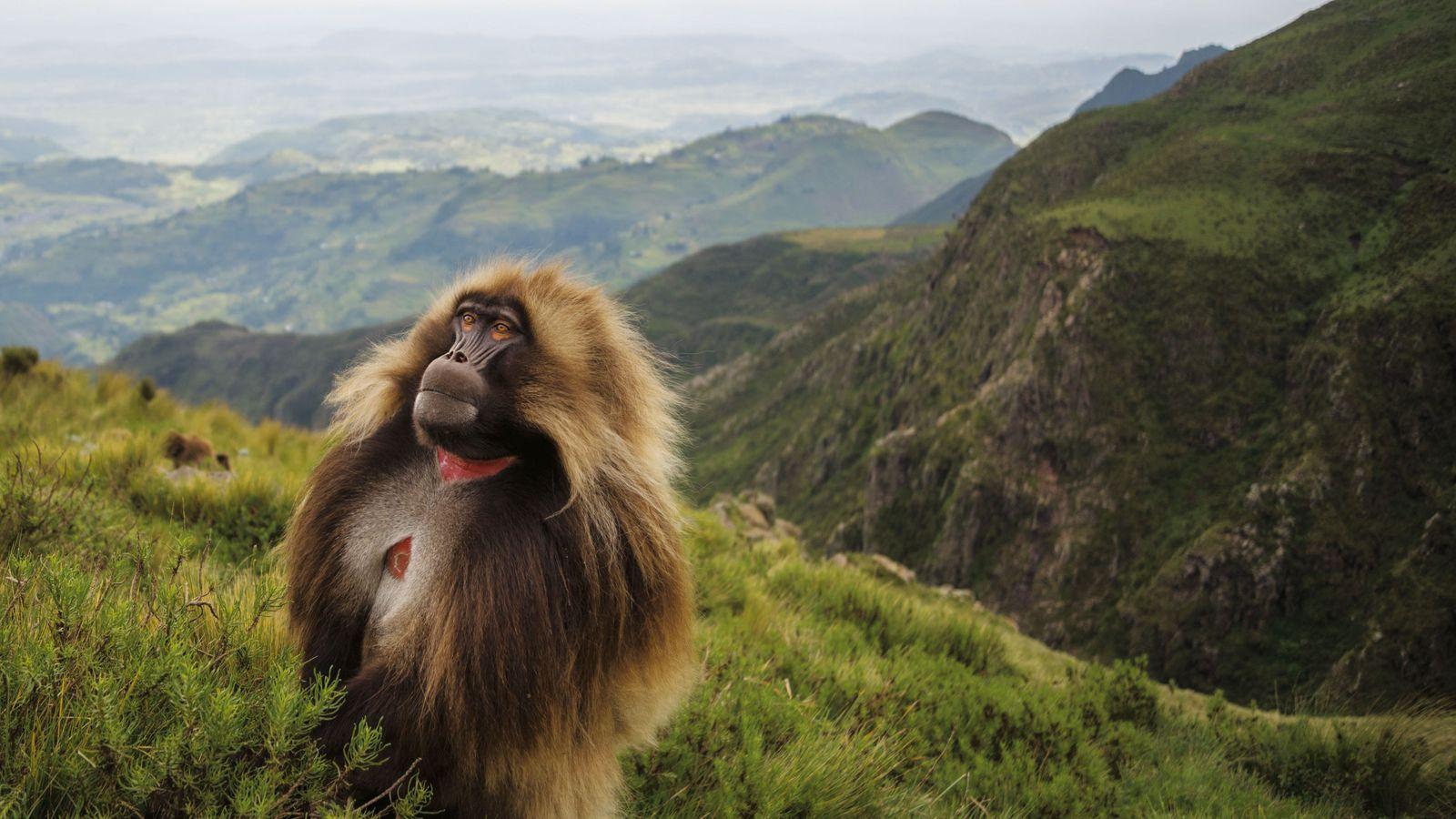 Un gélada mâle fait une pause pendant son escalade d'une hauteur bordant la vallée du Grand ...