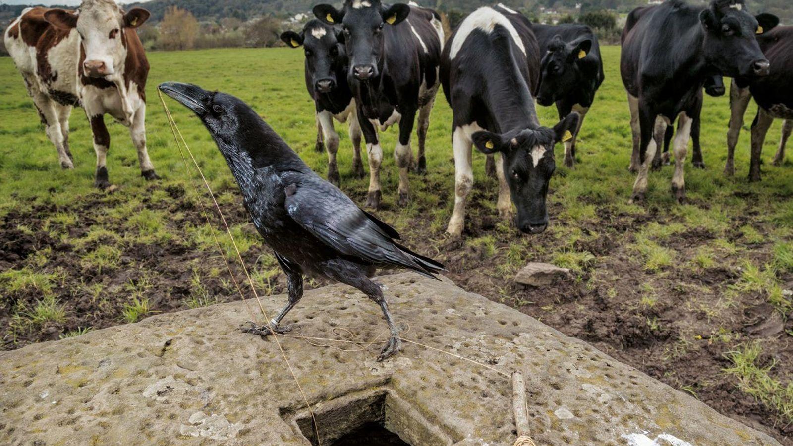 Les nestors kéas, des perroquets néo-zélandais, sont connus pour leur curiosité – une marque d'intelligence. Dans ...