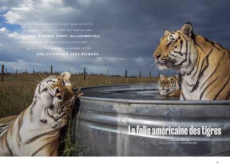 La folie américaine des tigres.