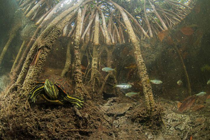 turtle-in-mangroves