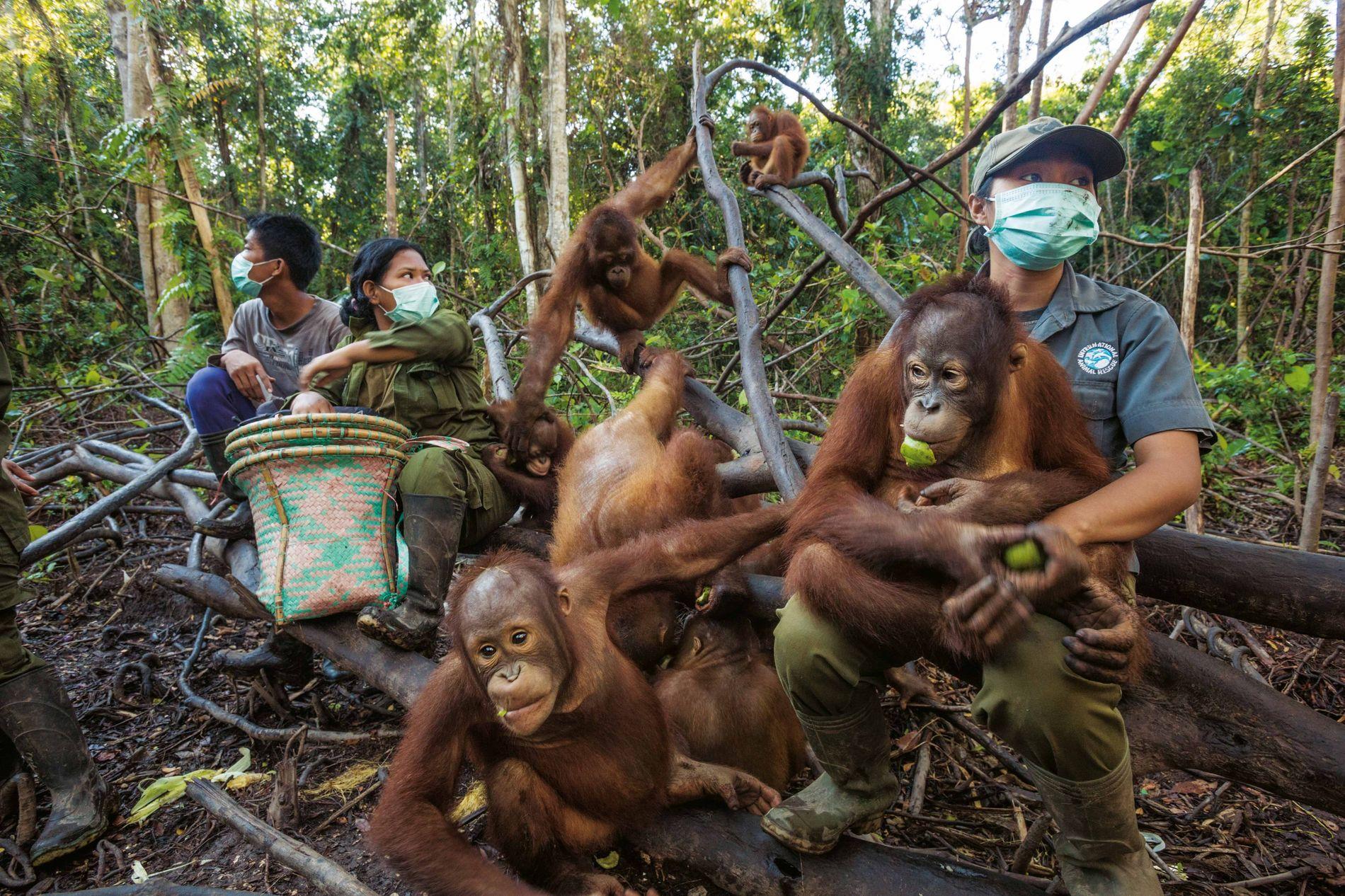 Des orangs-outans orphelins sont entraînés chaque jour en forêt à acquérir les comportements qui leur permettront ...