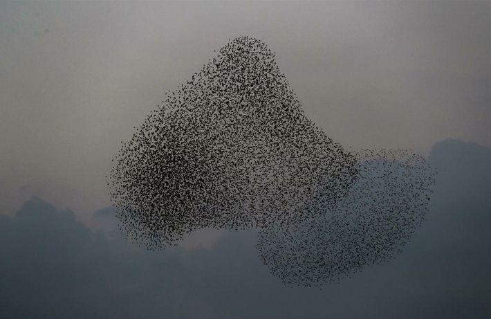 Ces nuées d'oiseaux dévorent 20 tonnes de nourriture par jour