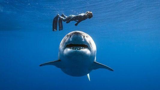 Portrait de Deep Blue, le plus grand requin blanc du monde