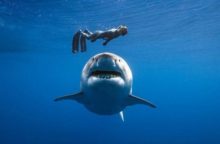 Ocean Ramsey nage avec Deep Blue, un requin de plus de 6 mètres de long.