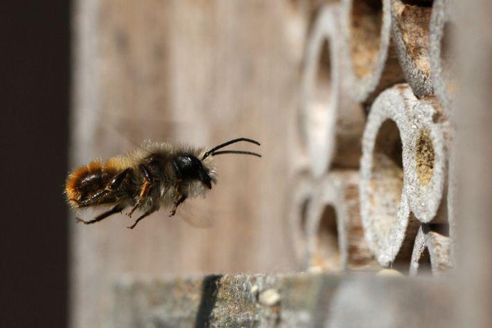 Une abeille maçonne rouge (Osmia bicornis) en vol vers un hôtel à insectes.