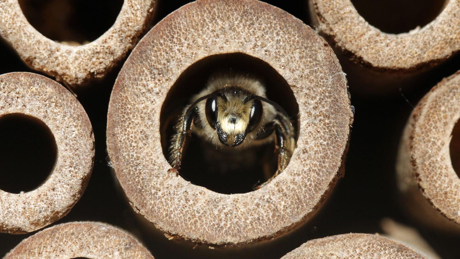 Une abeille dans un hôtel à insectes.
