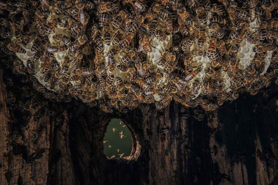 Des ouvrières construisent un nouveau rayon de cire. D'autres entrent dans la cavité, chargées de pollen ...