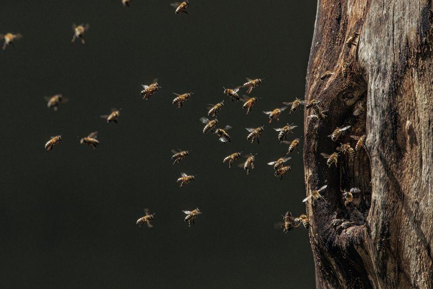 Des abeilles gagnent leur nid, dans une cavité d'arbre creusée par un pic noir et abandonnée ...