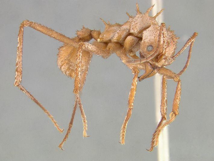 L'armure de la fourmi Acromyrmex echinatior l'aide à survivre aux combats engagés avec d'autres espèces de fourmis.