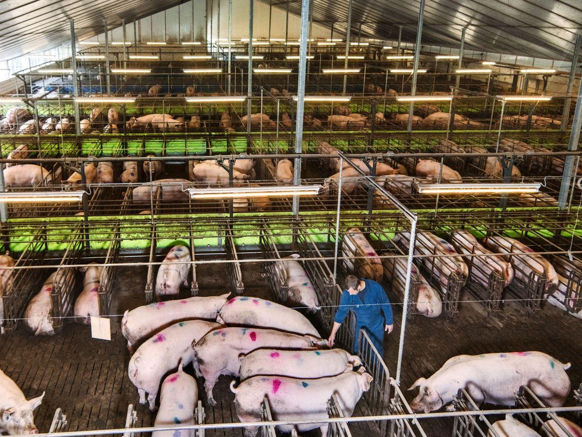 Frans Philipsen s'occupe des truies dans une grange dédiée à leur gestation de l'exploitation agricole Van ...