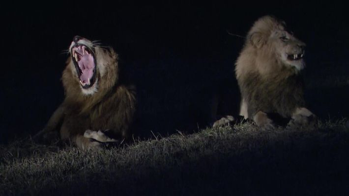 Ces lions s'attaquent à des buffles en pleine nuit