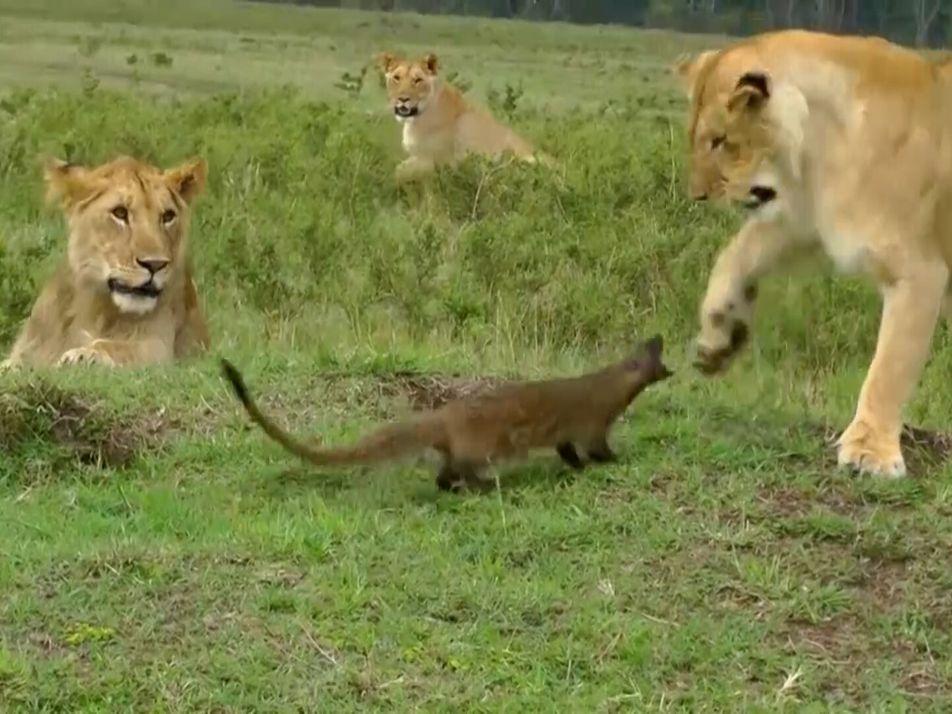 Une mangouste affronte un clan de lions