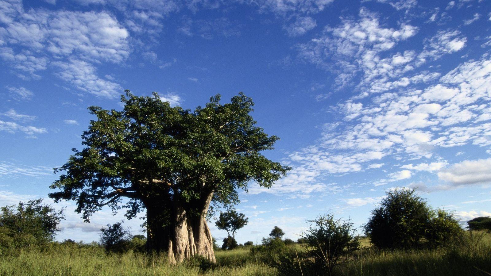 Un immense baobab domine la savane dans le parc national Kruger National, en Afrique du Sud.