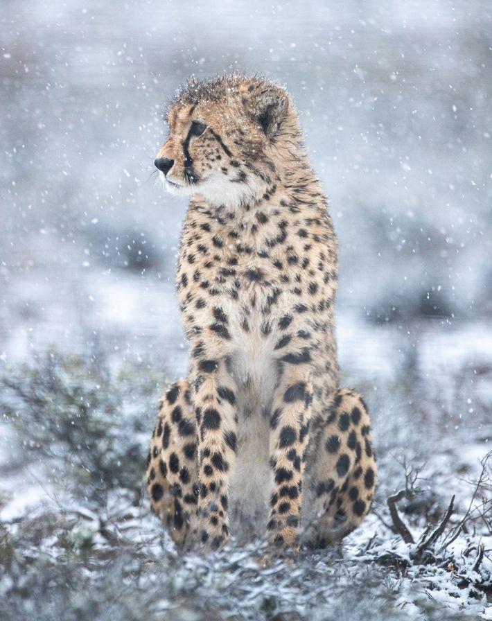 Un guépard mâle récemment relâché dans la réserve naturelle de Rogge Cloof examine le paysage. Les félins nouvellement ...