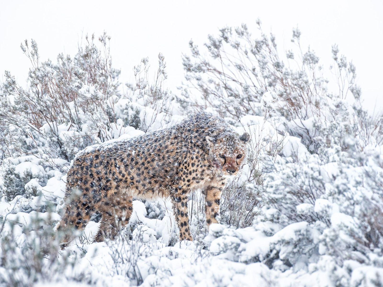 Mona, la femelle la plus âgée de la réserve, est très à l'aise avec la présence ...