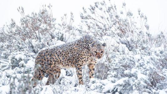 Rares images d'un guépard d'Afrique du Sud dans la neige