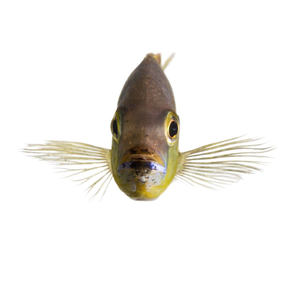 Certains poissons cichlidés africains natifs du lac Tanganyika en Afrique de l'Est sont capables de faire ...