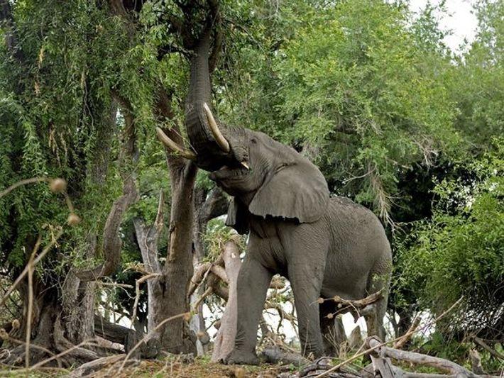 L'Eléphant africain