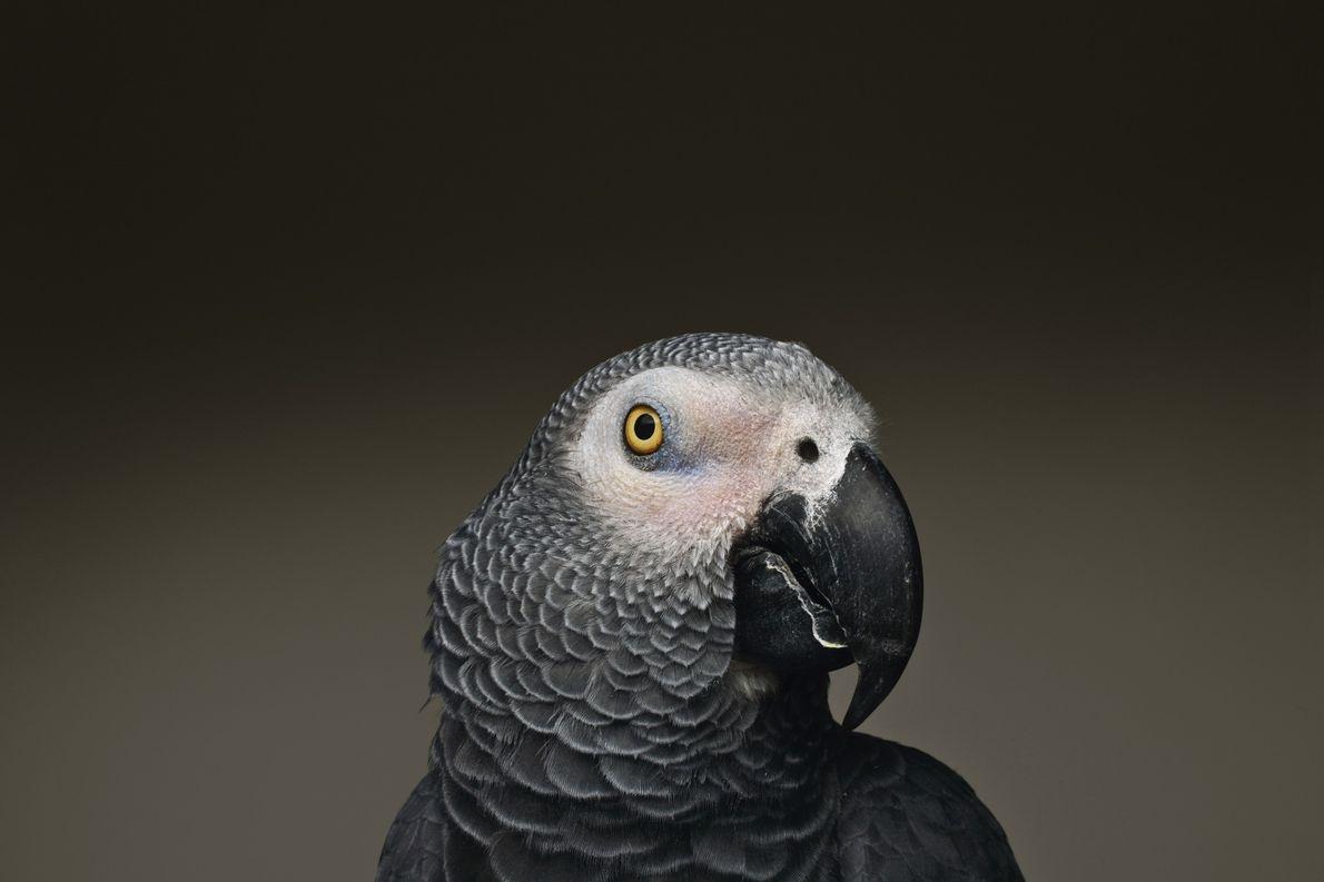 Les perroquets gris du Gabon sont célèbres pour leur capacité à imiter le discours humain. Des …