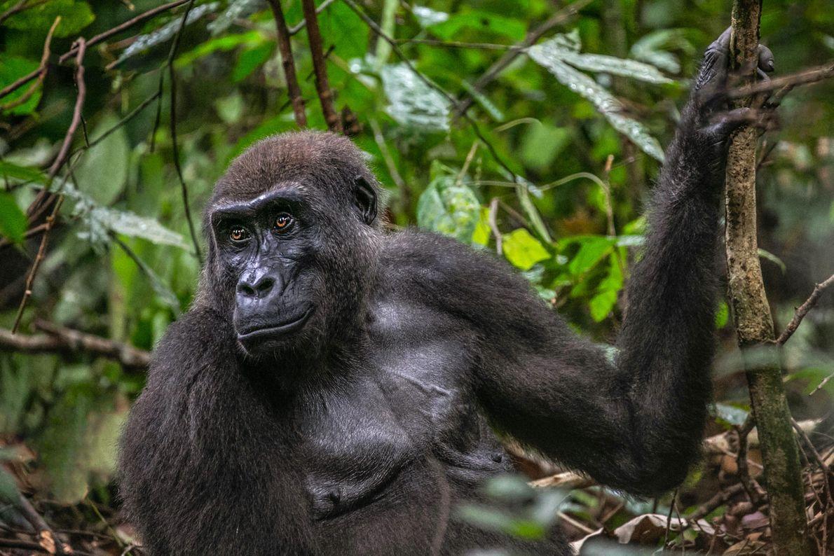 Le Gabon, Afrique. Un gorille des plaines de l'ouest, dans le parc national de Loango.