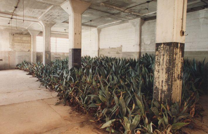 Lors d'une rénovation du sentier des agaves au début des années 1990, les plantes ont temporairement ...