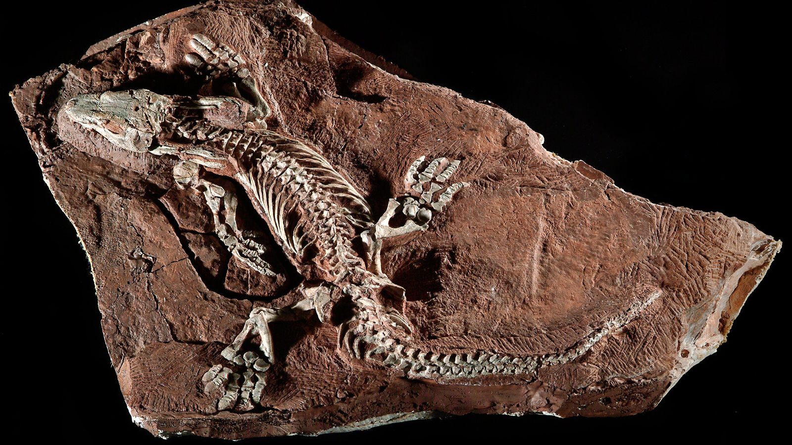 Ce fossile étonnamment complet d'un Orobates pabsti a été mis au jour en Allemagne.