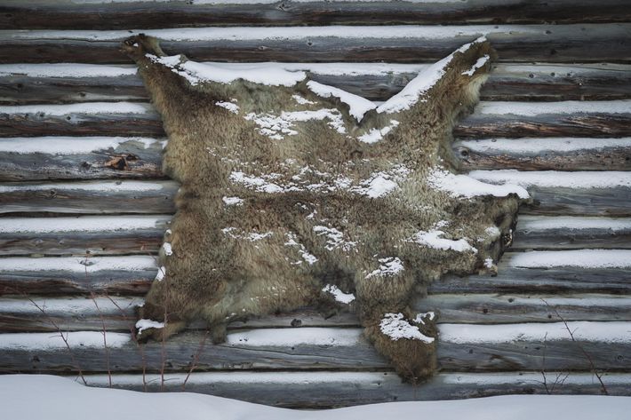 Le nombre d'ours abattus par les chasseurs en Alaska a augmenté au cours des dernières décennies ...