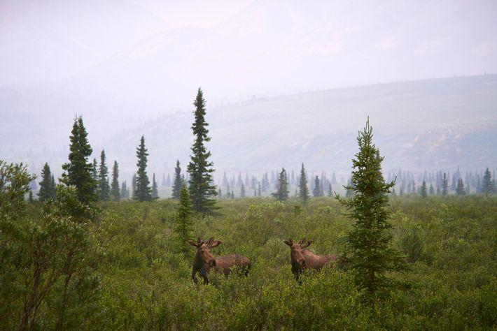 La législation alaskienne sur la faune fait office d'exception aux États-Unis, voire dans le monde, car ...