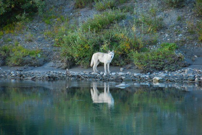 La saison de la chasse au loup a ouvert le 1eraoût en Alaska. En vertu de ...
