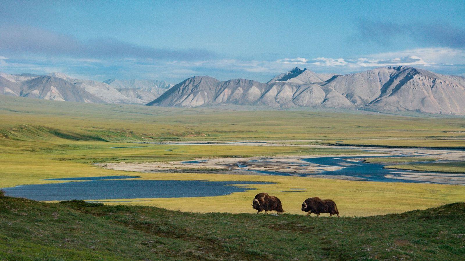 Deux bœufs musqués baguenaudent dans un paysage vierge de toute trace humaine. Les monts Sadlerochit se ...
