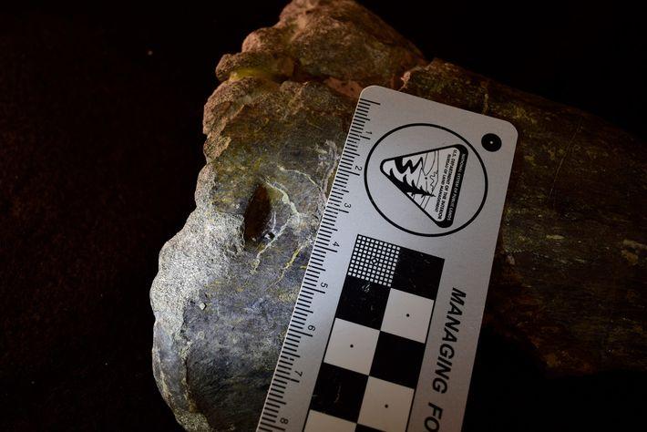 Cet orifice dans le tibia fossilisé d'un allosaure suggère aux scientifiques que ces dinosaures se nourrissaient ...