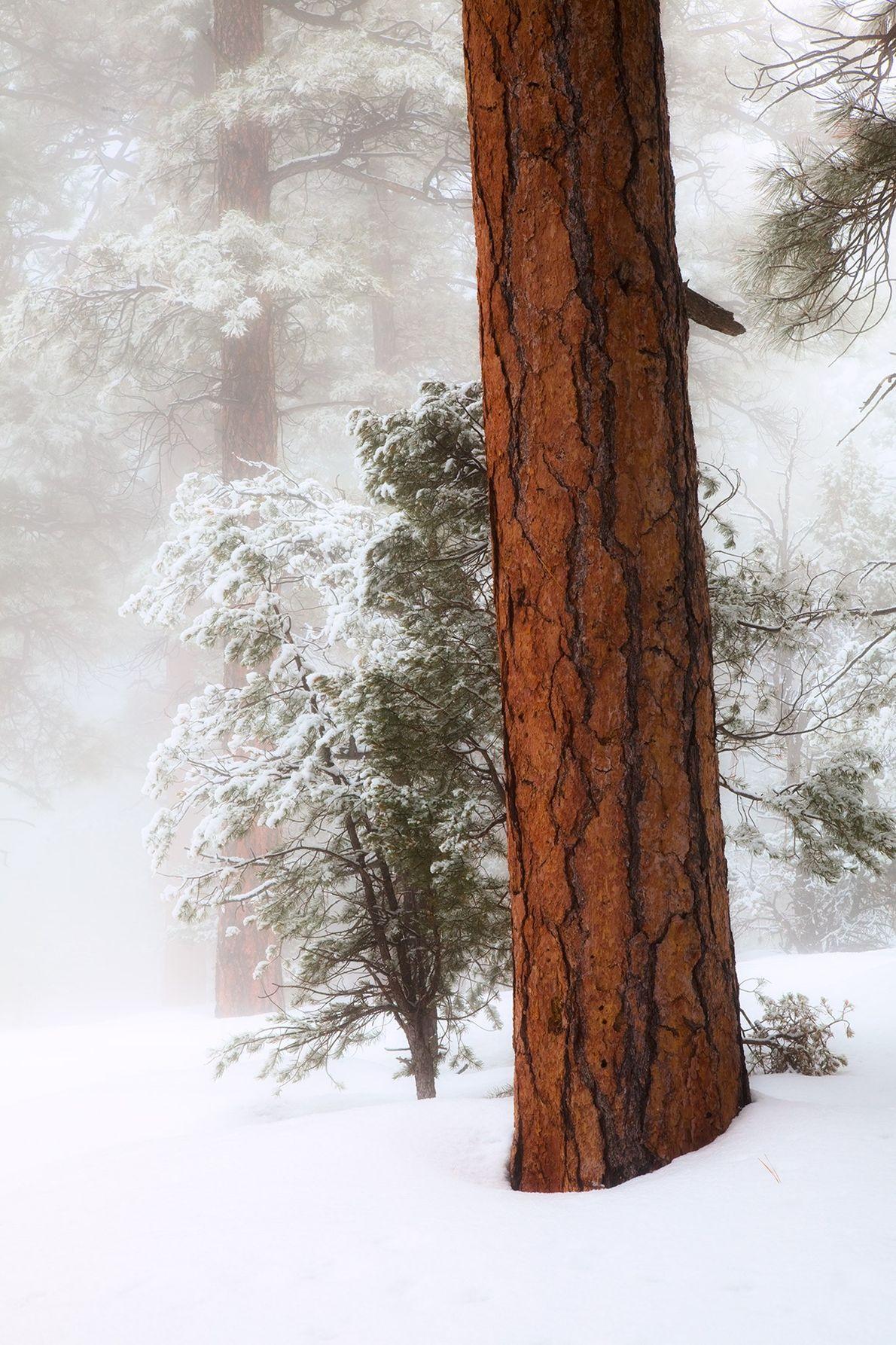 Une tempête de neige recouvre et transforme les pins ponderosa bordant Greenway Trail sur la rive ...
