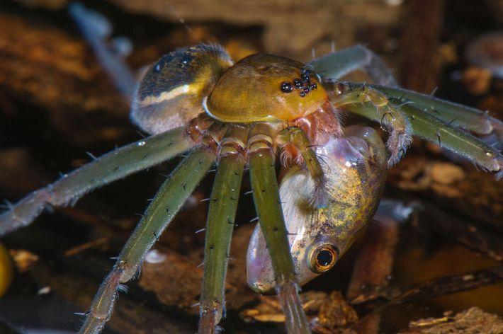 Une araignée pêcheuse ou dolomedes s'empare d'un têtard dans une mare au cœur de la forêt ...