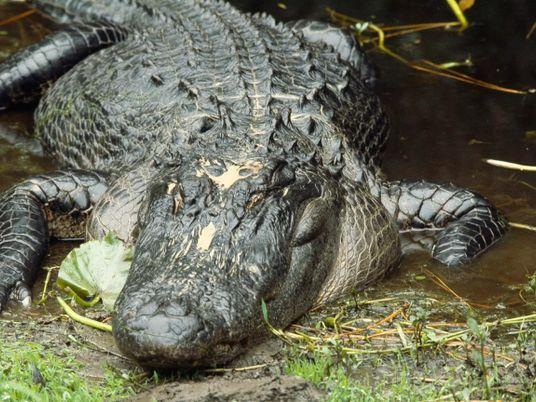 L'alligator, machine à tuer la plus perfectionnée de la planète