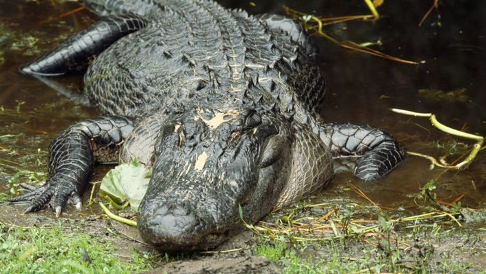 Images impressionnantes de l'attaque d'un alligator sur un cochon de 16 kilos