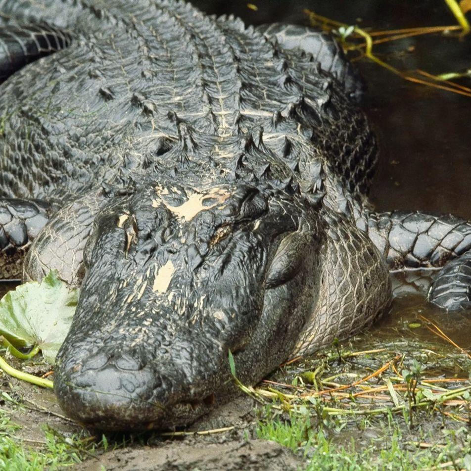 L'alligator, redoutable machine à tuer
