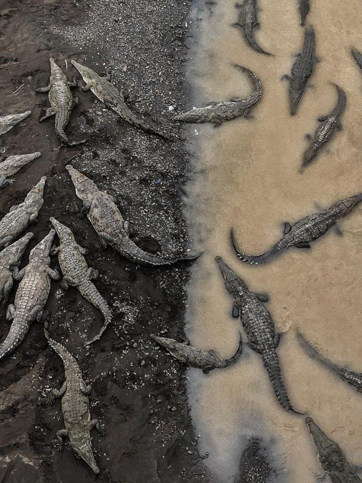 Les crocodiles américains se rassemblent le long de la rive de la rivière Tarcoles au Costa ...